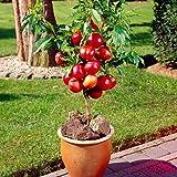 NooElec Seeds India 6 Dwarf Fruit Combo, Apple , Guava, Orange, Lemon, Miniature grape, Papaya (Multi-Colour)