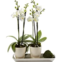 """Color Orchids Two Live Blooming Double Stem Phalaenopsis Orchid Plant in Ceramic Pots on Metal Tray, 15""""-20"""" Tall, White Blooms"""