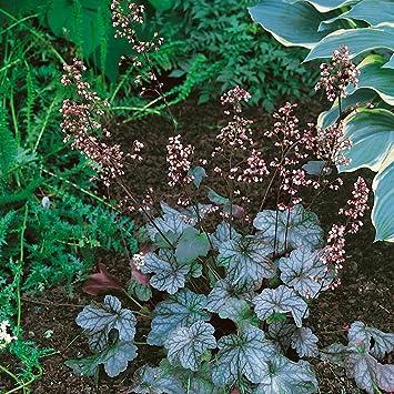 Pflanzen Schatten dominik blumen und pflanzen schatten staude purpurglöckchen