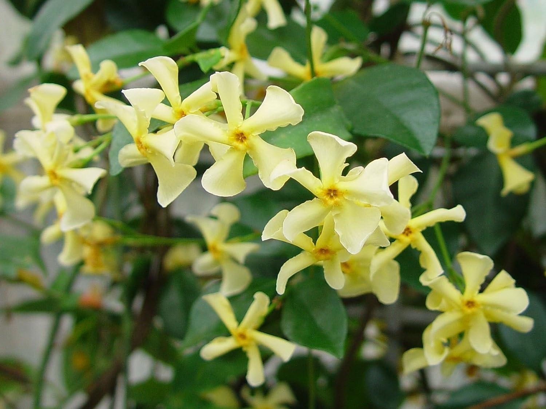 Trachelospermum asiaticum mandanianum chinese jasmineplant in 9cm trachelospermum asiaticum mandanianum chinese jasmineplant in 9cm pot amazon garden outdoors izmirmasajfo