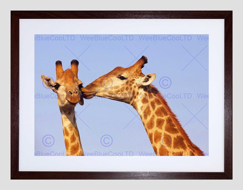 Framed Mother/'s Kiss Giraffes Art Print Dry Mounted in Black Wood Frame