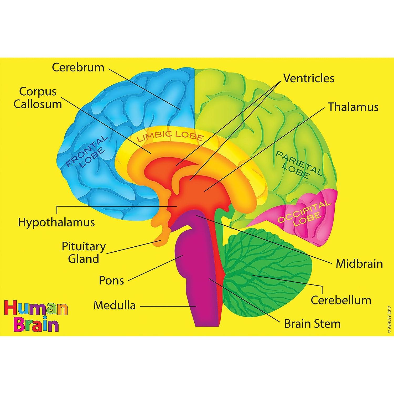ashley productions ash40023 foam manipulatives, human brain model, 4 pieces Brain Computer Interface Diagram