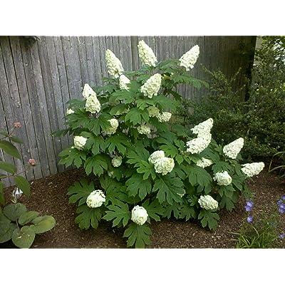 OAKLEAF Hydrangea Shrub : Garden & Outdoor