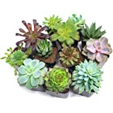 Succulent Plants (12 Pack) Fully Rooted in Planter Pots with Soil | Real Live Potted Succulents / Unique Indoor Cactus Decor