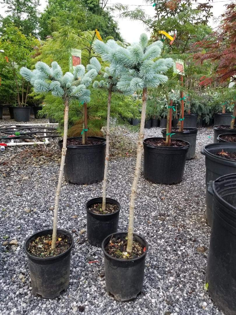 Dwarf Globe Blue Spruce (Tree Form on 20'' Standard) - Live Plant - Trade Gallon by New Life Nursery & Garden (Image #2)