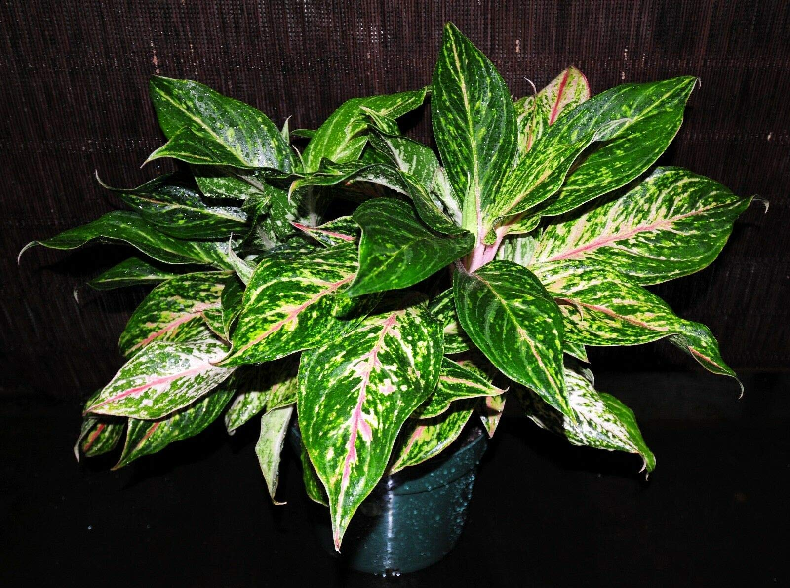 Gorgeous XLG Chinese Evergreen Aglaonema Sparkling Sarah 8'' Tropical Houseplant (Premium Quality) by AY-Premium