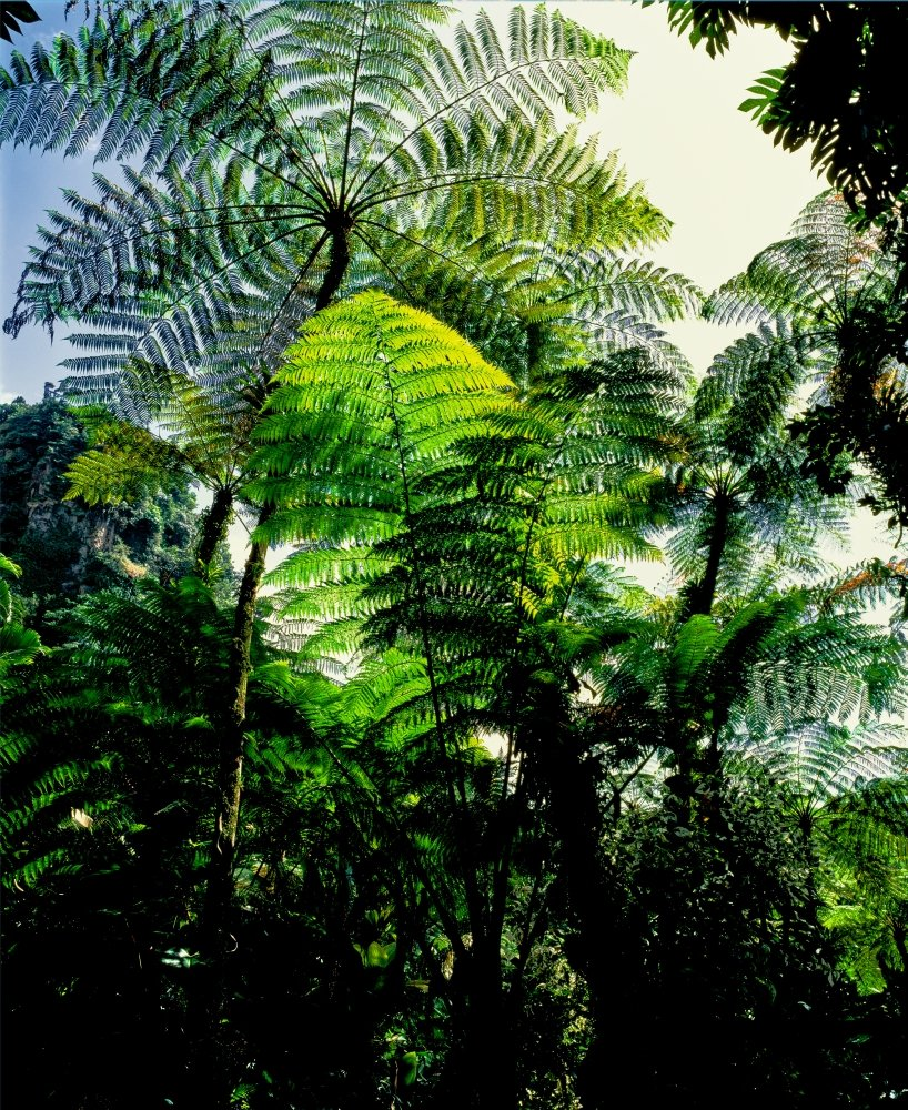 Low angle view of West Indian treefern (Cyathea arborea) Papillote Wilderness Retreat Dominica Poster Print by Panoramic Images (36 x 32)