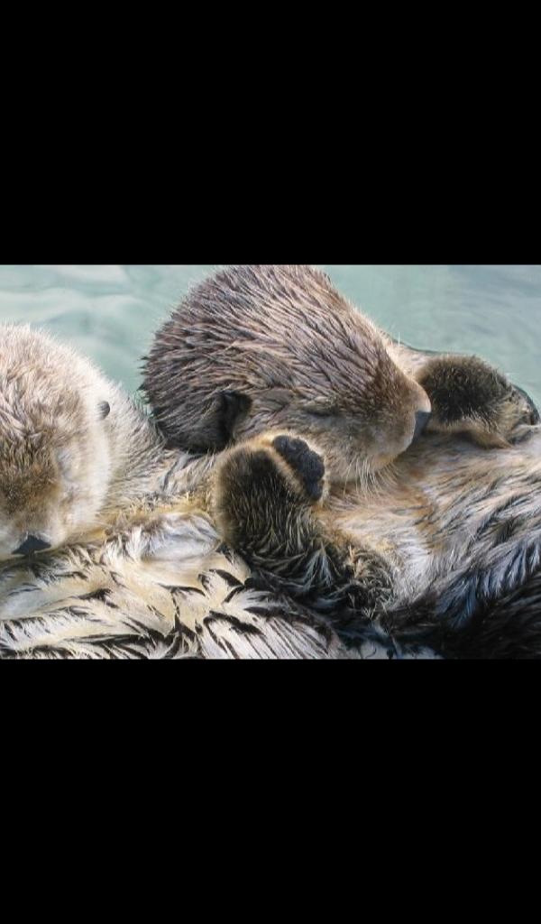 Sea Otter Wallpaper Hd Wallpapers Of Sea Otters Amazon