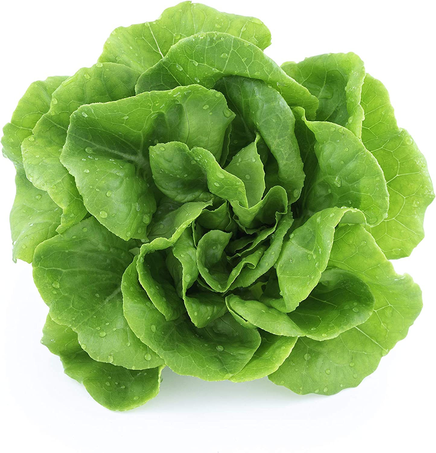 Lettuce Seeds for Planting Home Garden - Hydroponics Garden - Fall Planting Indoors or Outdoors - Tom Thumb!
