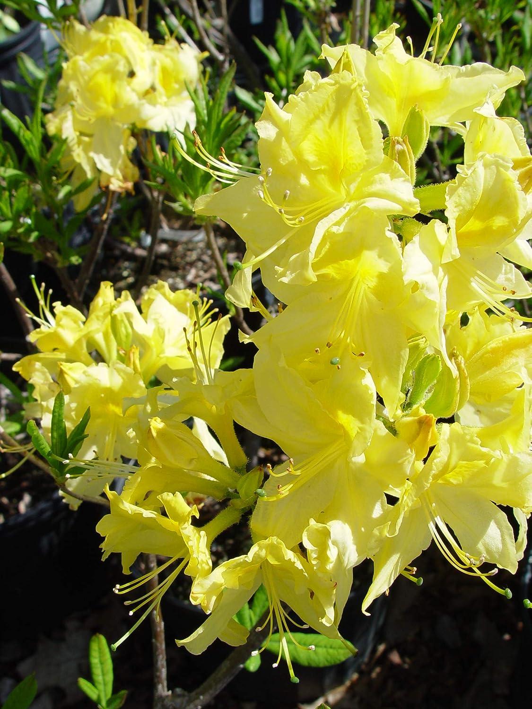 Amazon azalea lemon lights exbury hybrid shrub yellow amazon azalea lemon lights exbury hybrid shrub yellow flowers 2 size container garden outdoor mightylinksfo