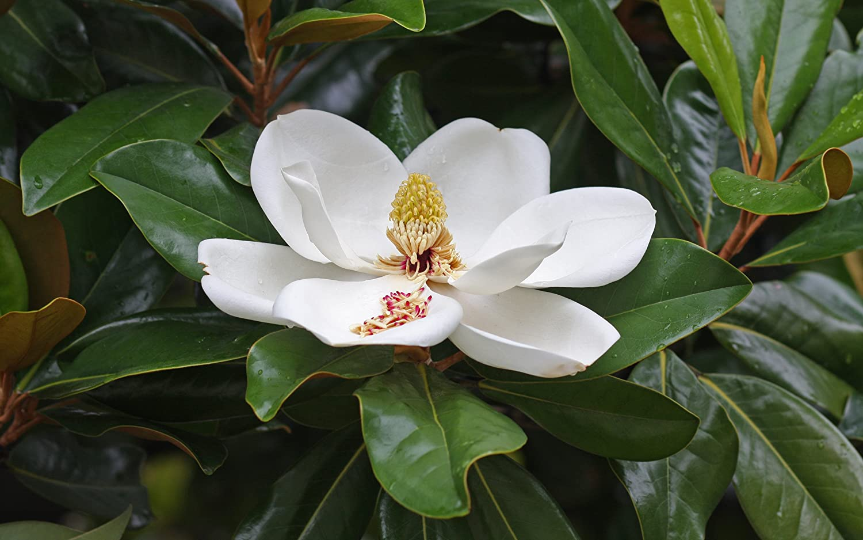 Southern Magnolia Tree - Live Plant Shipped 2 to 3 Feet Tall by DAS Farms (No California)