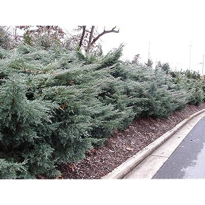Juniper - Grey Owl - 6 Inch Pot - Juniperus Virginiana - Drought Tolerant Evergreen : Garden & Outdoor