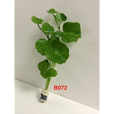 Hydorcotyle leucocephala - Bundle Plant B072 - BUY 2 GET 1 FREE Live Aquatic Plant Online : Garden & Outdoor