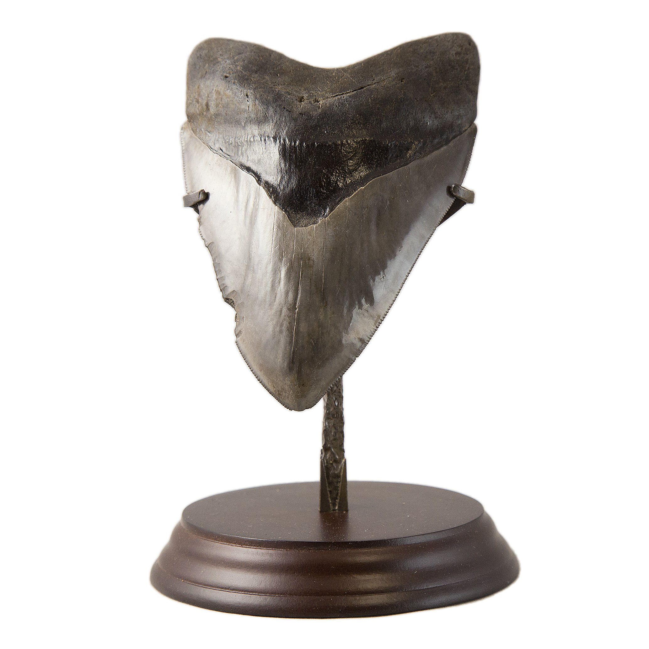 Beverly Oaks Huge Museum Quality Real Megalodon Tooth Fossil - Giant Shark Tooth (5 1/2 inch)