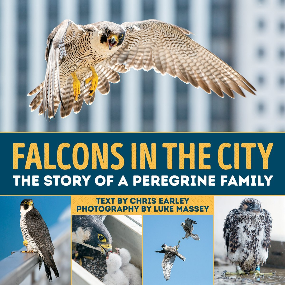 Falcons in the City The Story of a Peregine Family