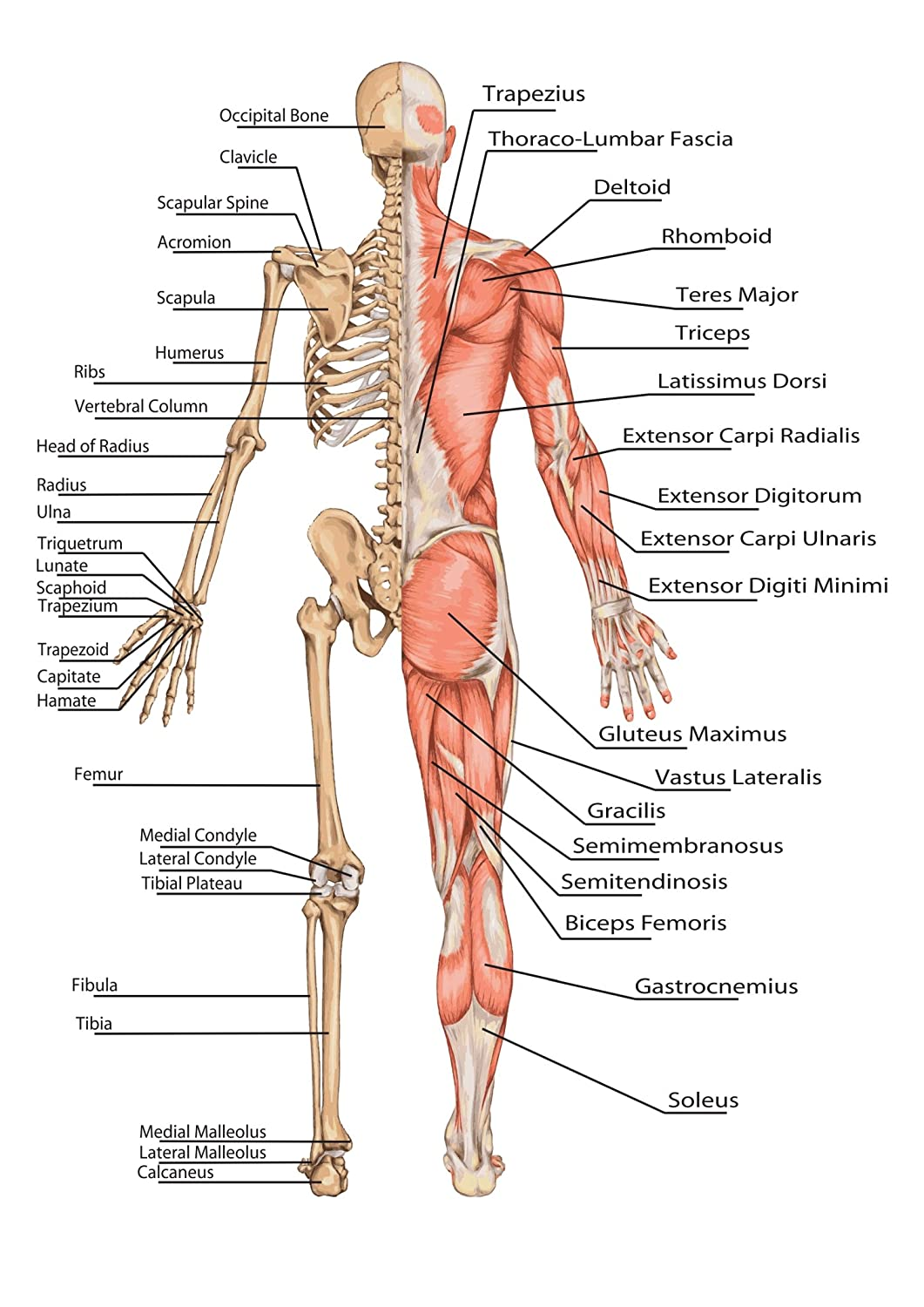 SonicPrint Human Body Skeleton Educational Poster. Many, Including Frames.