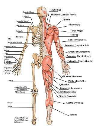 Menschlichen Körper Skelett Educational - Bildung Poster. viele ...