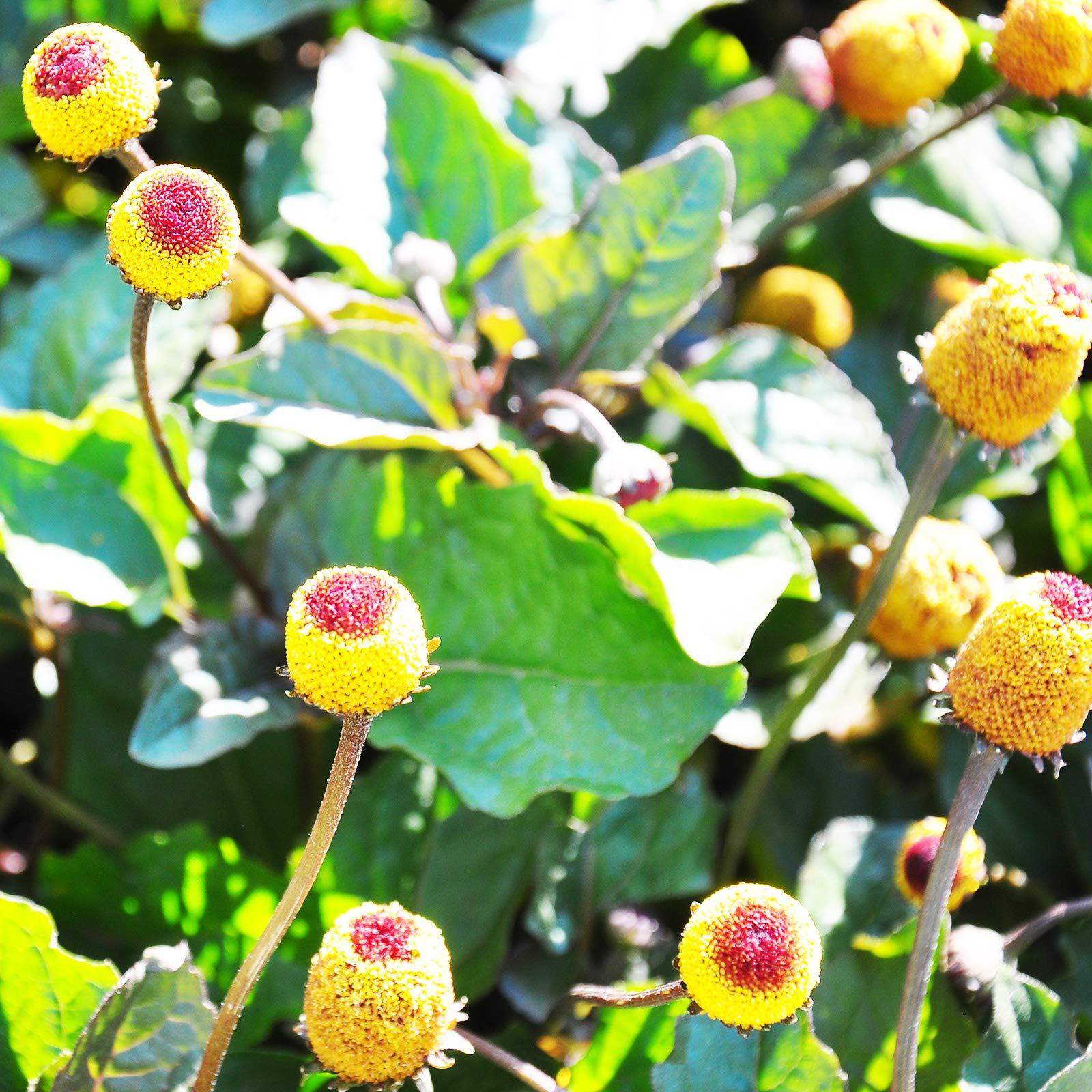 Paracress Seeds - 1 Lb - Non-GMO Medicinal Herb Garden & Microgreens Seeds - AKA: Toothache Plant, Electric Daisy, Eyeball Plant, Peek-A-Boo, Electric Buttons