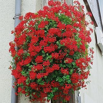 Dominik Blumen Und Pflanzen Geranien Hangend Grossblumig Gefullt