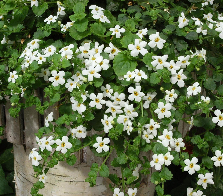 Amazon.com : Outsidepride Bacopa Snowtopia White Sutera cordata ...
