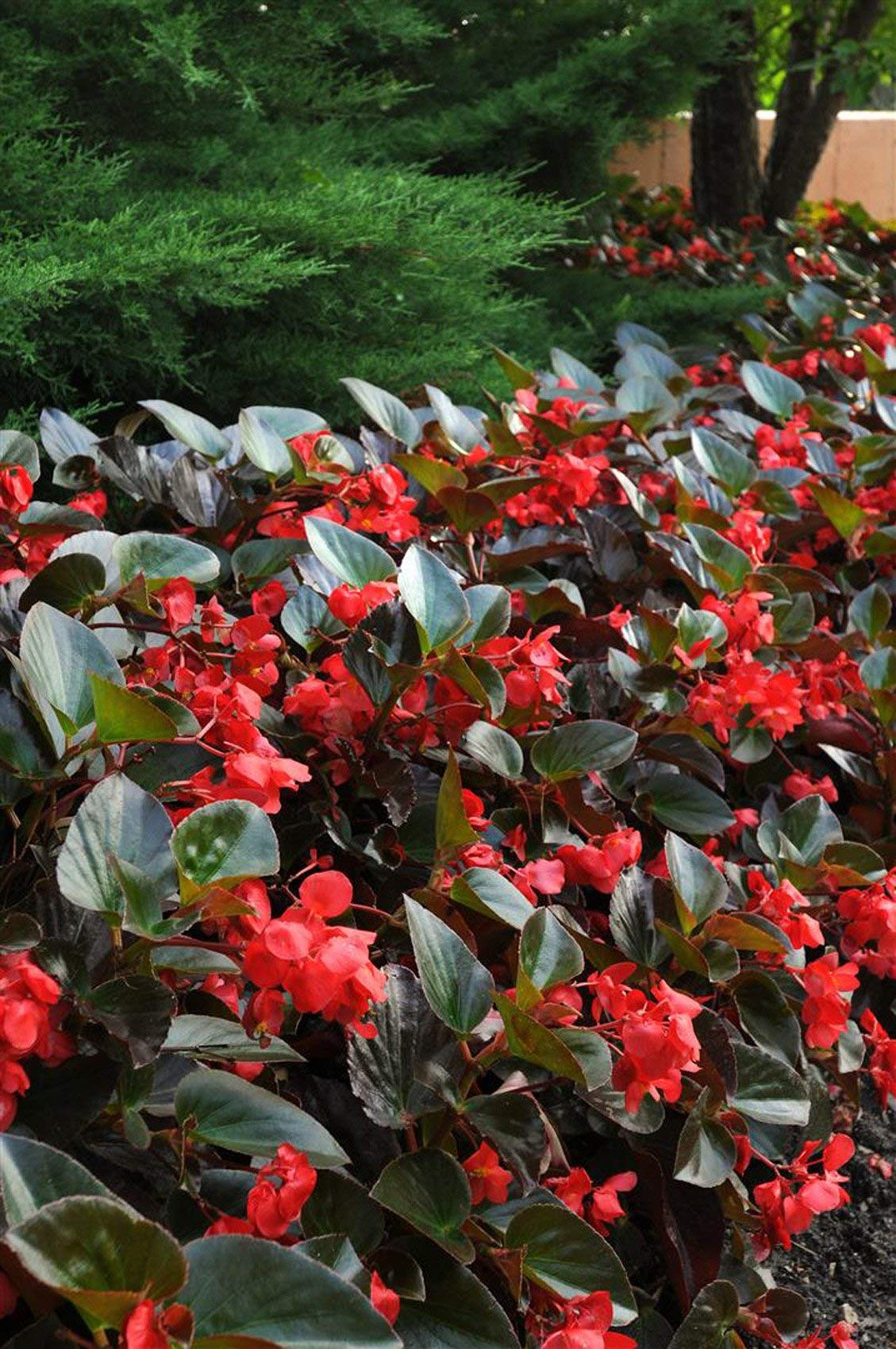 Ferry-Morse Begonia Landscape Big Red Bronze Leaf Flower Plantlings Kit, Pack of 12