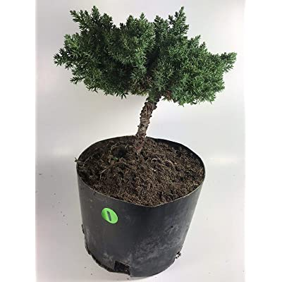 AchmadAnam - Live Plant - Miniature Bonsai Tree - Japanese Dwarf - Juniper Procumbens nanaGreat Gift: Garden & Outdoor