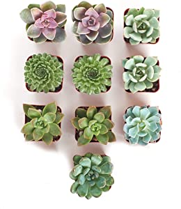 Shop Succulents | Radiant Rosette Collection | Assortment of Hand Selected, Fully Rooted Live Indoor Rose-Shaped Succulent Plants, 10-Pack