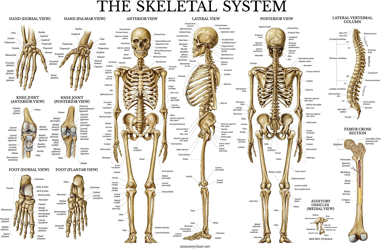 The Human Skeleton Photo Picture Anatomy Skeletal System Human Poster Science