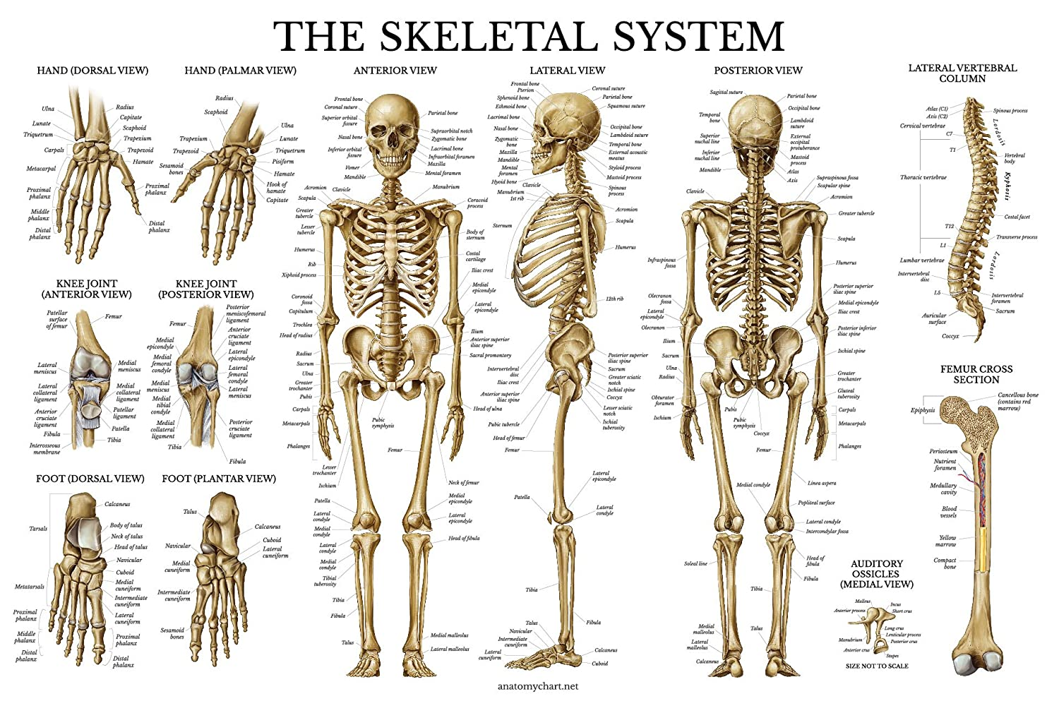 Skeletal System Anatomical Chart Laminated Human Skeleton Poster