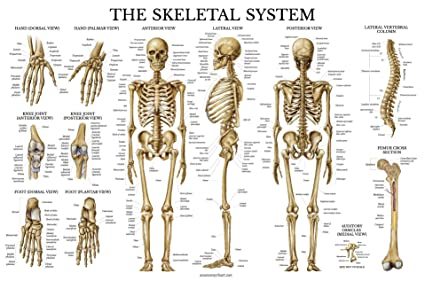 amazon com skeletal system anatomical chart laminated human