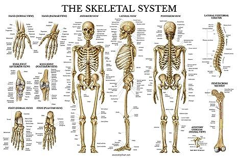 GIANT Skeletal System Poster - Human Skeleton Chart - Extra Large ...