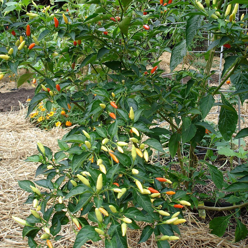 Bonnie Plants Tabasco Pepper - 4 Pack Live Plants, 1.5 - 2 Inch Fruits, 24 - 36 Inch Tall Plants, Great For Pickling & Preserving by Bonnie Plants (Image #9)