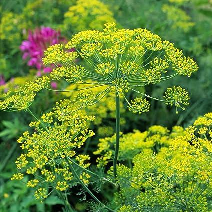 Bouquet Dill Herb Garden Seeds   5 Lb   Non GMO, Heirloom Herbal Gardening
