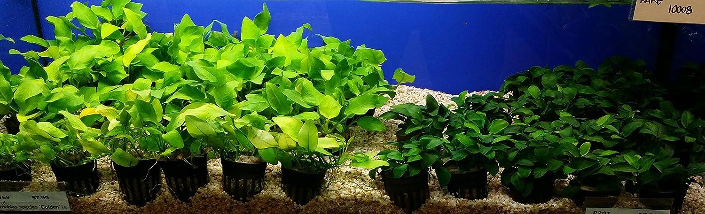 same plant Anubias Barteri Var Nana Petite Ps207 Buy2get1free