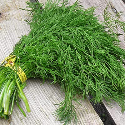 Seeds Dill Gribovsky Vegetable Organic Heirloom Russian Ukraine : Garden & Outdoor
