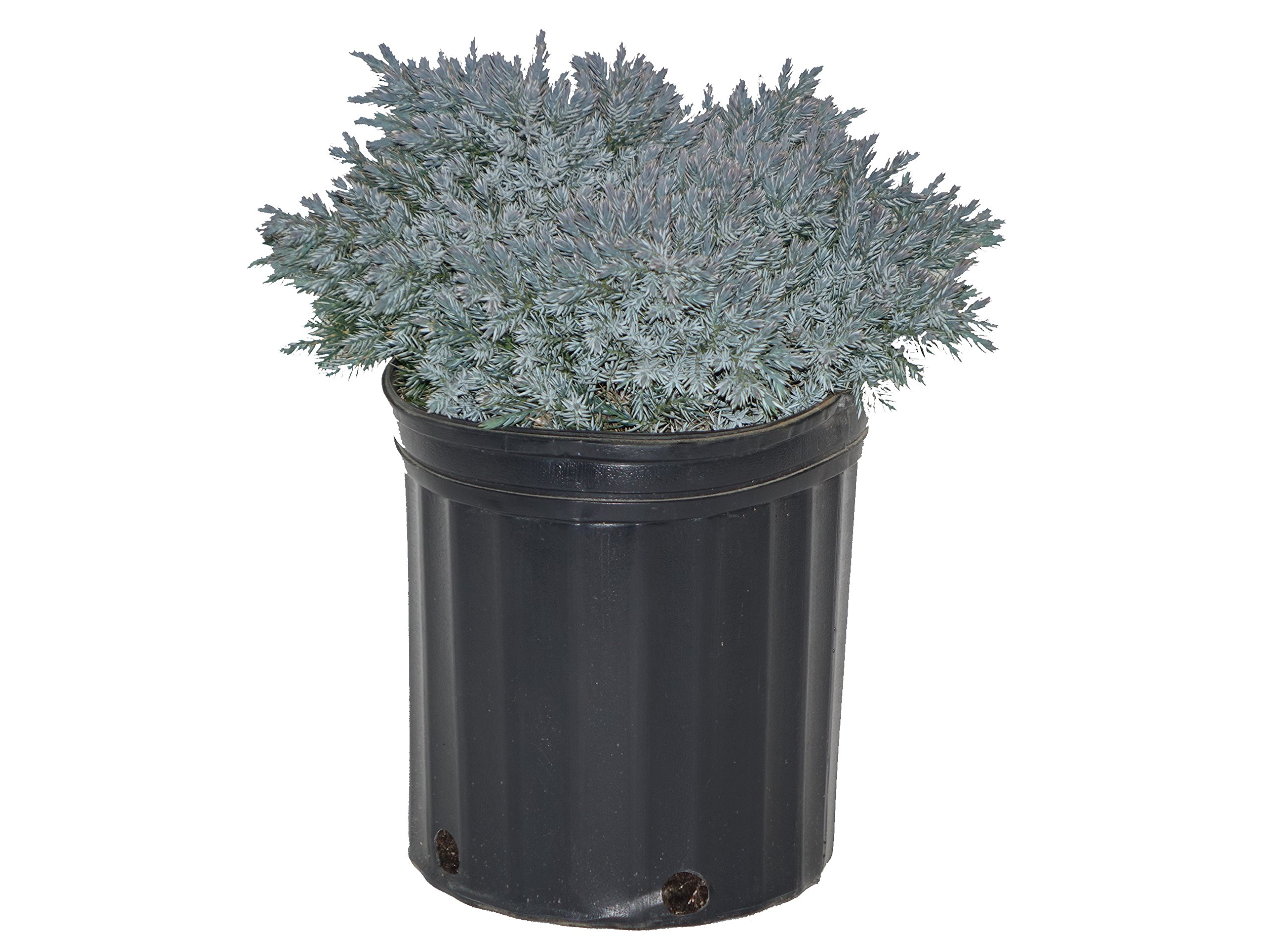Juniperus Squamata 'Blue Star' (Juniper) Evergreen, 2 - Size Container