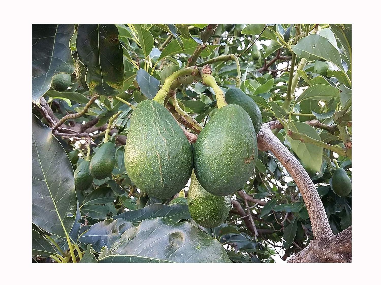AVOCADO FRUIT TREE Persea americana - SUBTROPICAL EVERGREEN FRUIT - 20-30cm tall plant