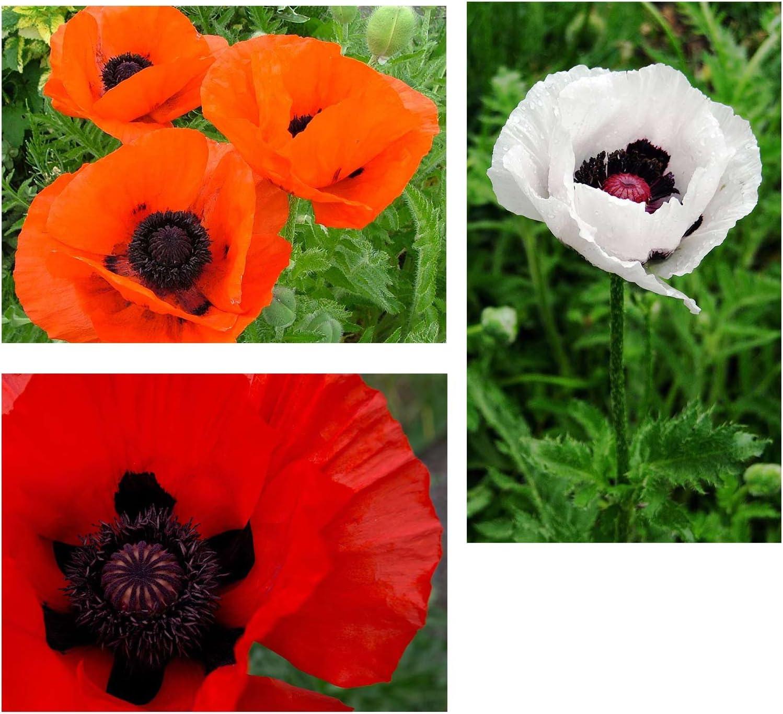 Poppy Flower Seeds - Oriental Mix - 500 Seeds - Perennial Poppies Flower Garden - Red, Orange, Salmon and White Blossoms - Flower Gardening