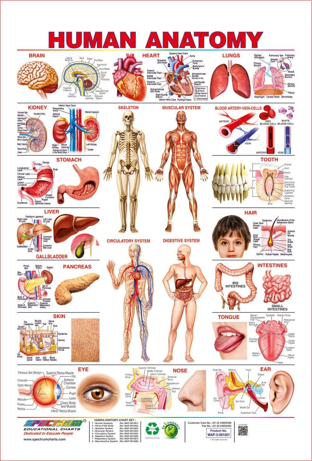 Beste Wall Chart Of Human Anatomy Zeitgenössisch - Menschliche ...