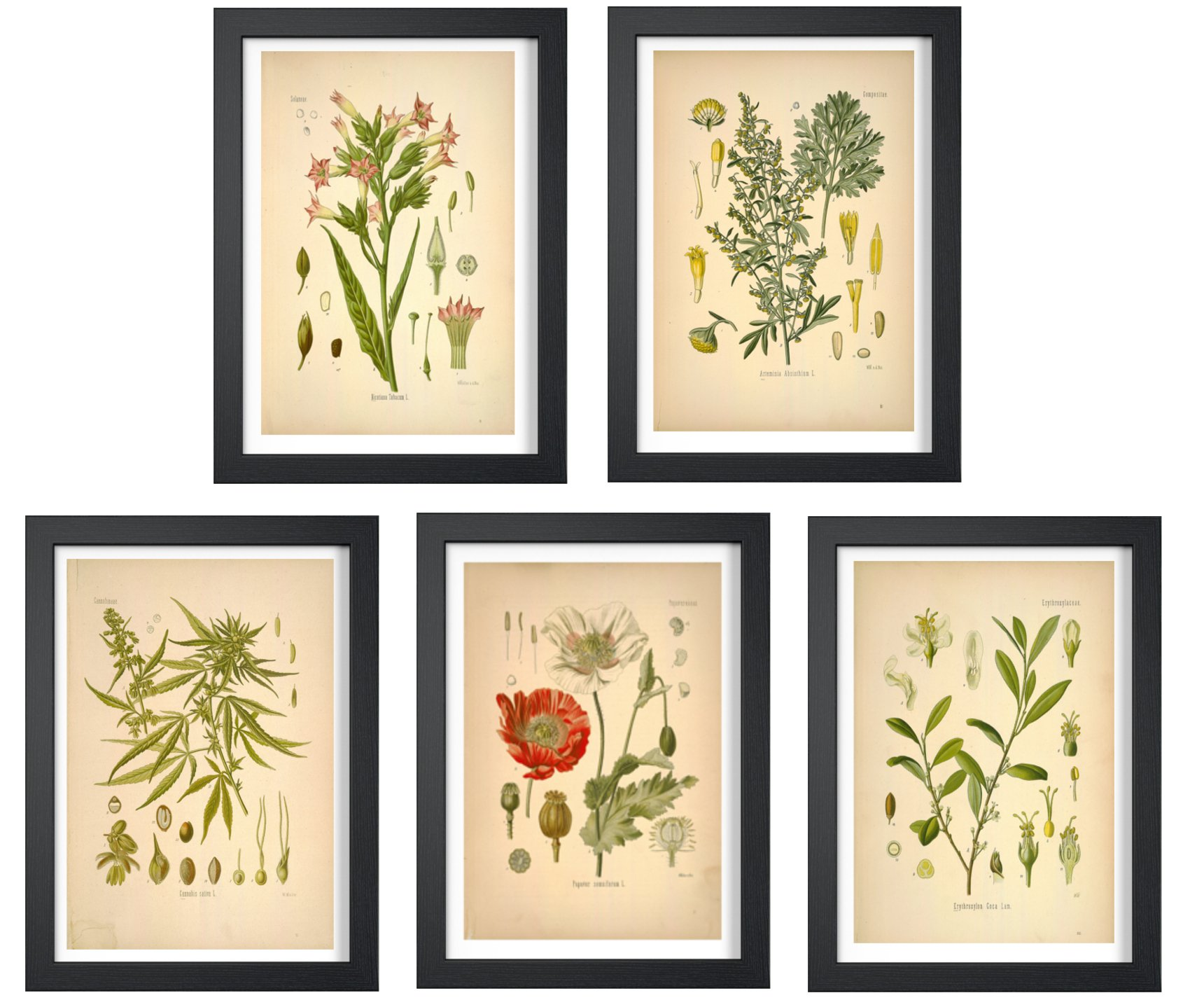 Ink Inc. Psychoactive Plants Botanical Drawings Vintage Art Prints, Set of 5, 8x10in, Unframed, Cannabis Coca Opium Poppy Tobacco Wormwood