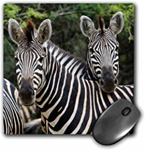 """3dRose Three Burchells Zebra in The Timbavati, Limpopo, South Africa. Mouse Pad, 8"""" x 8"""" (mp_205665_1)"""
