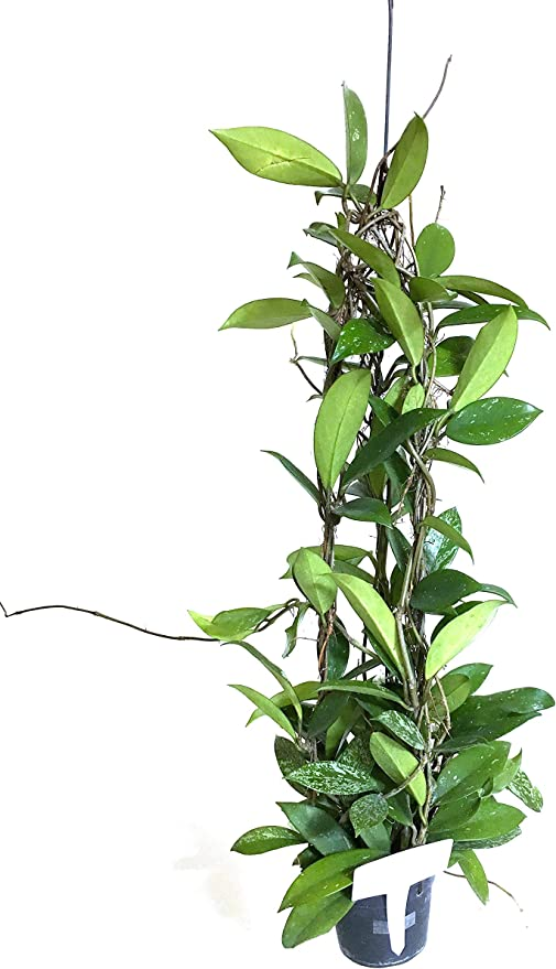 "Indoor Plant Hoya pubicalyx tropical hoya plant 4/"" pot size rooted live plant"