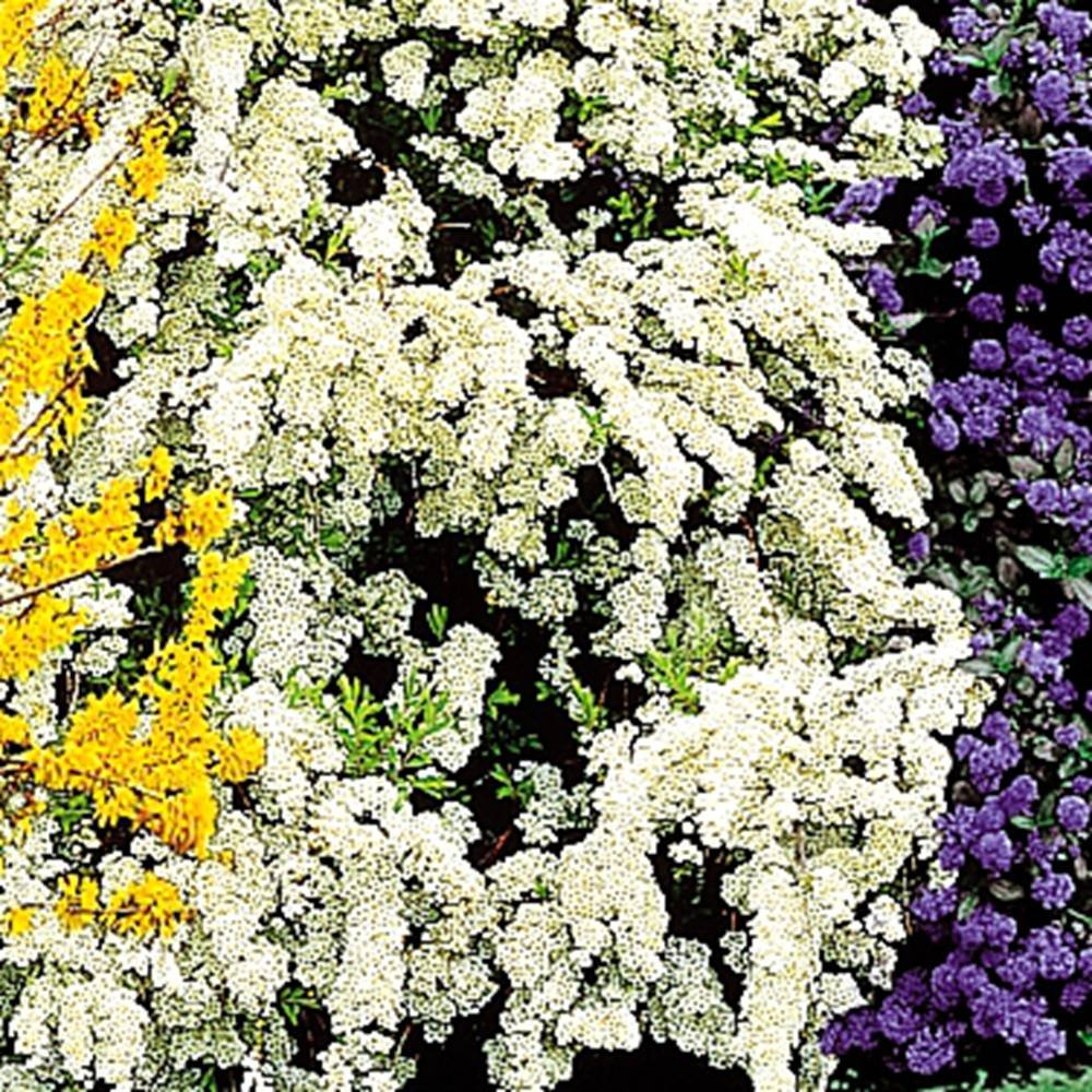 Spirea arguta Bridal Wreath - 1 shrub Gardens4you