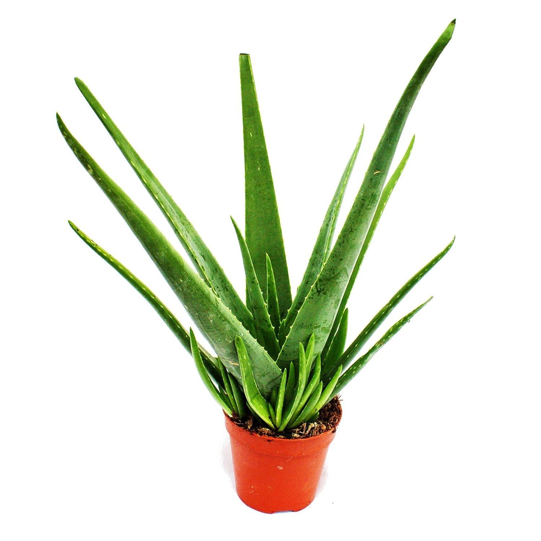 Baldur-garten Echte Aloe Vera Pflanze, 1 Pflanze: Amazon.de: Garten Aloe Vera Pflanze
