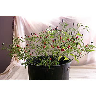 Hermosillo ChilTepin Hot Pepper 10+ Seeds: Toys & Games