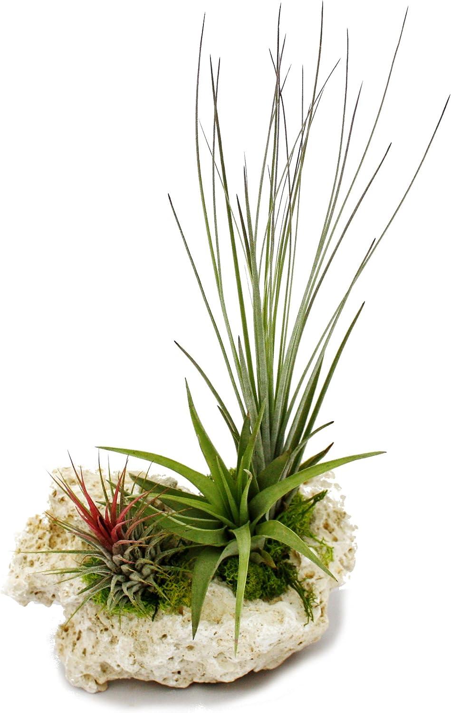 Plantas Tillandsia en piedra Zanzíbar, tamaño XL, 3 plantas