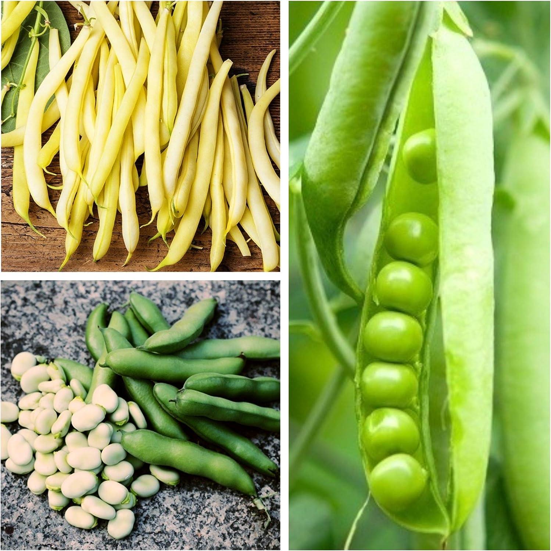 Haba, guisante, frijol - Semillas de 3 especies de plantas ...