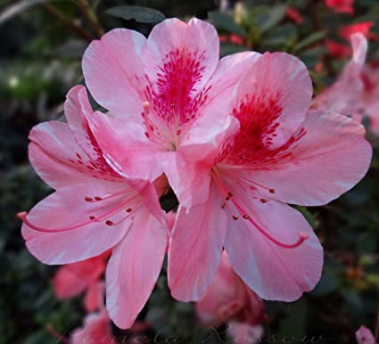 Azalea garden rare azalea flower plant pink white exotic azalea garden rare azalea flower plant pink white exotic ornamental flower plant 1 mightylinksfo