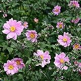 lichtnelke - Herbst - Anemone (Anemone 'SERENADE ')