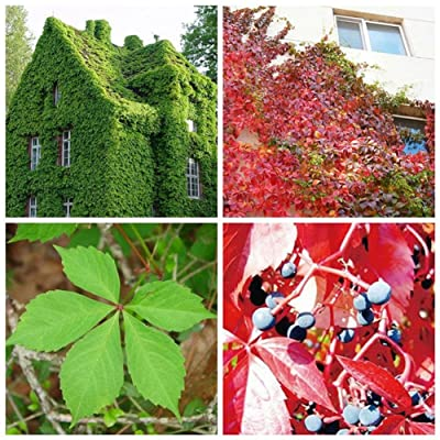 50Pcs Green Boston Ivy Vine Seeds DIY Home Garden Outdoor Climbing Rare Seeds : Garden & Outdoor